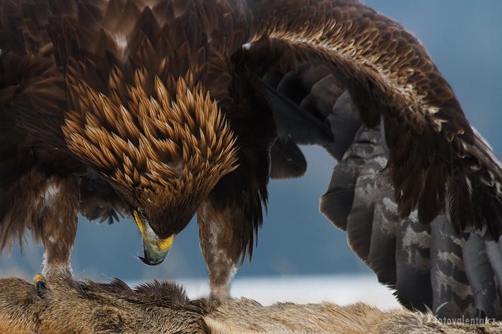 Orel skalní (kořist - srna)